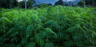 Dumbies Keep Stealing Hemp Crops Thinking They're In 'Marijuana Heaven'