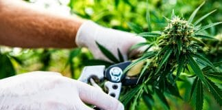 Study Finds No Connection Between Marijuana Legalization and Crime