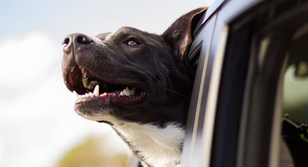 Uber Pet Allows Pets To Travel For A Fee