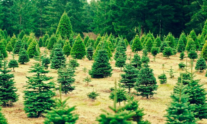 Demand For CBD Oil Could Lead To Christmas Tree Shortage