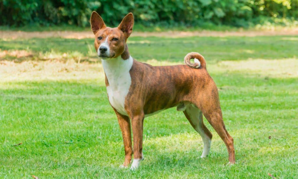 Dogs Of Instagram Basenji