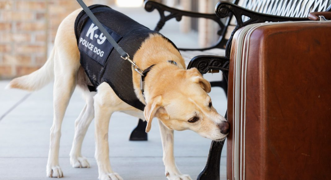 How Accurate Are Drug Sniffing Dogs?