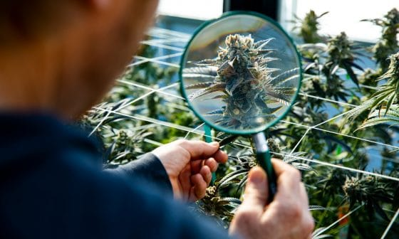 Science Still Confused Over Whether Marijuana Can Tame Opioid Epidemic