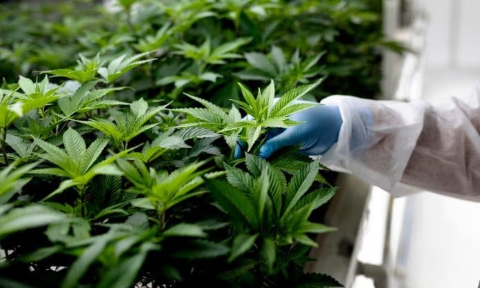 What Needs To Happen For Marijuana To Become Legal At The Federal Level