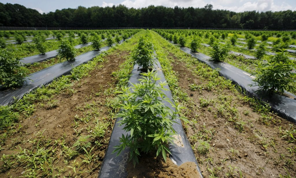 Hemp Farmers Really Need A Break In 2020