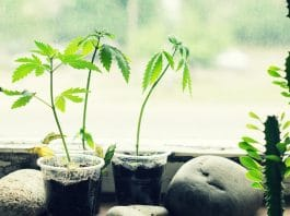 Should Coronavirus Allow All Medical Patients To Grow Marijuana From Home?