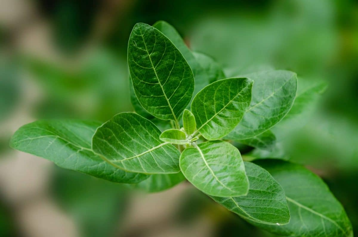 What Is Ashwagandha And How Can It Be Used With Cannabis?