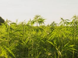 Marijuana: A substance at the intersection of race, politics, and culture
