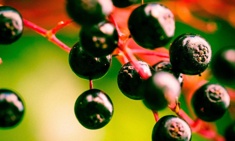 Do Elderberry CBD Gummies Boost Immunity?