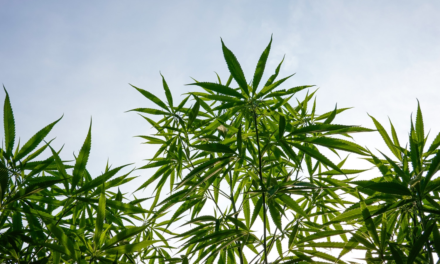 DEA Interim Final Rule: What Is 'Synthetically Derived THC'?