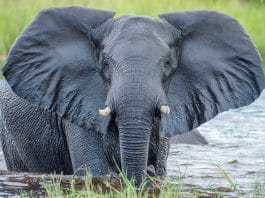 Elephant Receives CBD Oil To Cope With Anxiety and Stress