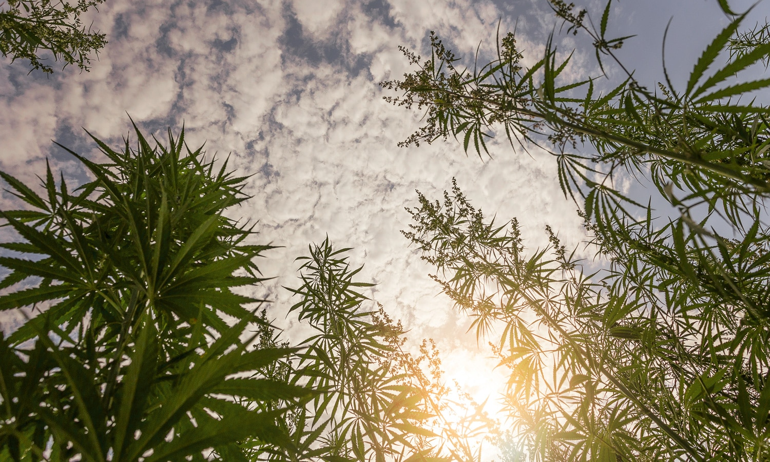 Is Tribal Cannabis On A Comeback Tour?