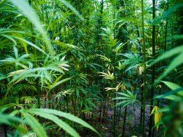 Legal marijuana States Buying 'Nasal Rangers' To Detect Illegal Grows