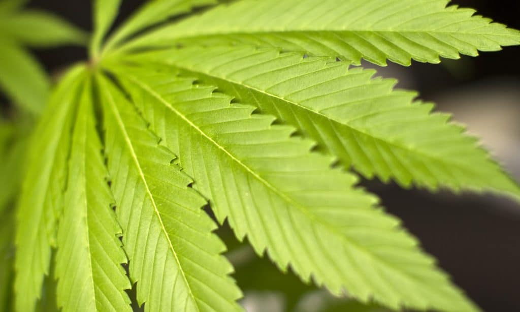 The Discovery Of A Cannabinoid 30 Times Stronger Than THC Isn't All Good