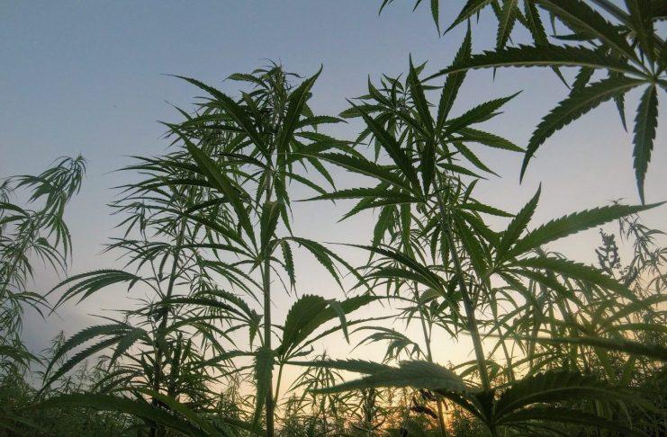 sustainable cannabis