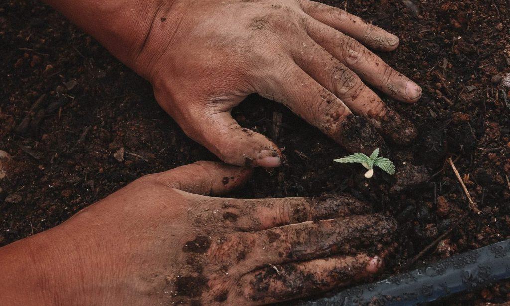 What's The Difference Between Sun-Grown And Indoor Grown Marijuana?