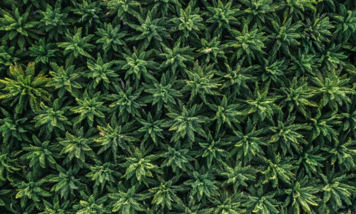 Let Artisanal Marijuana Growers Replace Black Market With Home Grown