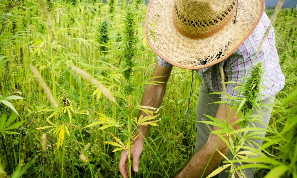 cannabis and forced labor